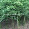 毛竹、雷竹、四季竹、紫竹、凤尾竹