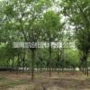 山东淄博皂角树、山东落叶乔木优质树种