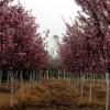 江苏宿迁垂丝海棠、西府海棠、美人梅、黄帽月季、丰花月季
