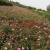 江苏沭阳万绿园微型月季、丰花月季、地被月季、五彩月季价格图片基地批发