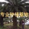 福建漳州福建中东海枣价格 银海枣报价 精品中东海枣批发 中东海枣树