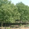 安徽合肥供应安徽香樟、红叶李、紫薇、红叶桃、桂花、乌桕、水杉、紫叶李