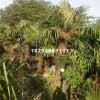 江苏宿迁棕榈150-350厘米  价格...
