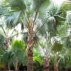 河南许昌河南许昌大量供应棕榈...