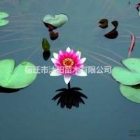 江苏沭阳睡莲价格_睡莲图片_睡莲产地绿...