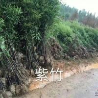 江苏沭阳紫竹、淡竹、箬竹、刚竹...