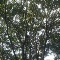 江苏苏州江苏省常熟市司氏苗木13个头胸径150公分的丛生朴树