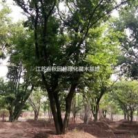 江苏宿迁江苏供应大量从生朴树 有需要联系