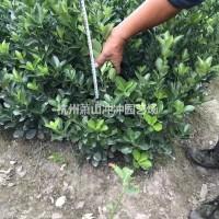 浙江杭州苗圃出售精品大叶黄杨毛球