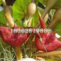 江苏沭阳基地直销红菱苗 优质水生植物红菱 红菱苗价格