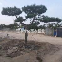 江苏宿迁造型油松