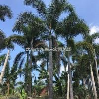 福建漳州福建狐尾椰子基地批发 千亩基地直销