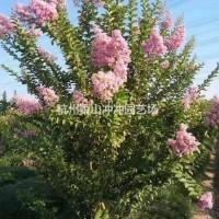 浙江杭州苗圃出售精品丛生紫薇冠幅1.5米-3米