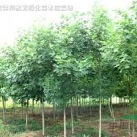 江苏宿迁马褂木价格 马褂木苗木销售 4-20公分柳树马褂木价格
