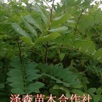 山西运城刺槐苗 50公分高刺槐苗价格 1米刺槐苗