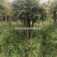 浙江杭州协灿苗木供3-30公分榉树羽毛枫红梅红梅枫...
