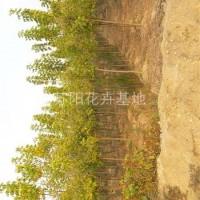 江苏沭阳金叶复叶槭