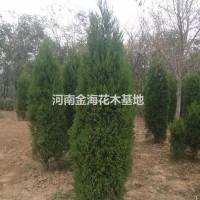 河南许昌河南1.5米到3米的河南桧 现在价格优惠