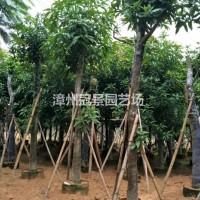 福建漳州芒果树