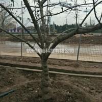 浙江杭州精品艺术形状树腊梅15-25公分带梅龟