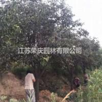 江苏沭阳江苏常年供应规格25公分~60公分柿子树