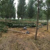 山东滨州供应速生杨树,杨树价格