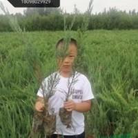 陕西榆林陕西20-80公分沙地柏6介绍