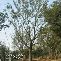 安徽滁州精品朴树