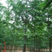 山东临沂银杏树