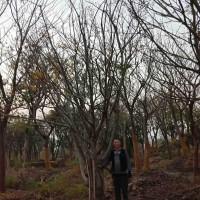 江苏苏州朴树