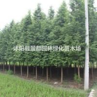 江苏沭阳绿化苗木水杉 金叶水杉