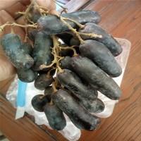 山东泰安蓝宝石葡萄苗、甜蜜蓝宝石葡萄苗品种