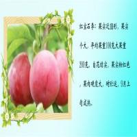 山东泰安出售玫瑰皇后杏李树苗 玫瑰皇后杏李树苗市场...