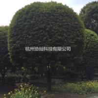 浙江杭州供八月桂四季桂冠幅300/350/400/...