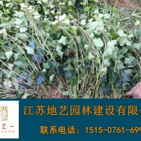 江苏沭阳供应常春藤 常春藤产地 江苏地艺园林苗圃基...