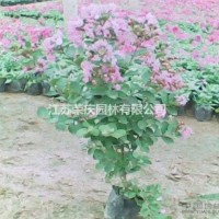 江苏沭阳江苏常年供应规格2公分~15公分矮紫薇  ...