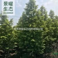 江苏宿迁江苏景曜生态产地/供应/金叶水杉批发/价格...