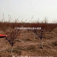 江苏宿迁江苏供应大量垂丝海棠 有需要联系