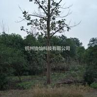 浙江杭州供应20公分马褂木两支