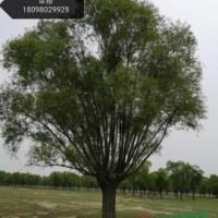 陕西榆林陕西榆林供应10到100公分馒头柳