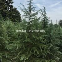 江苏南京苗圃自产批发;3米雪松,2米雪松,2.5米...