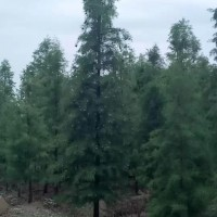 安徽合肥池杉12公分池杉价格