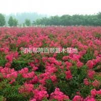 河南许昌河南鄢陵供应1-10公分玫瑰红紫薇