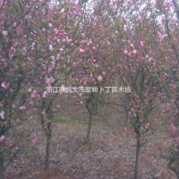 浙江绍兴供4-5公分垂丝海棠。量大,质优,价廉