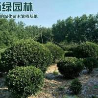 江苏沭阳万亩大叶黄杨球基地 低价供应各种规格大叶黄...