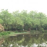 安徽合肥重阳木