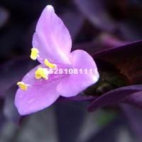 宿迁紫叶草