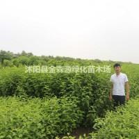 江苏沭阳红瑞木产地 红瑞木图片 红瑞木价格