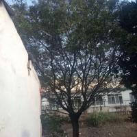江苏苏州30的榉树*新行情有图片展示