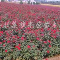 江苏沭阳红帽子月季、丰花月季、大花月季、欧洲月季